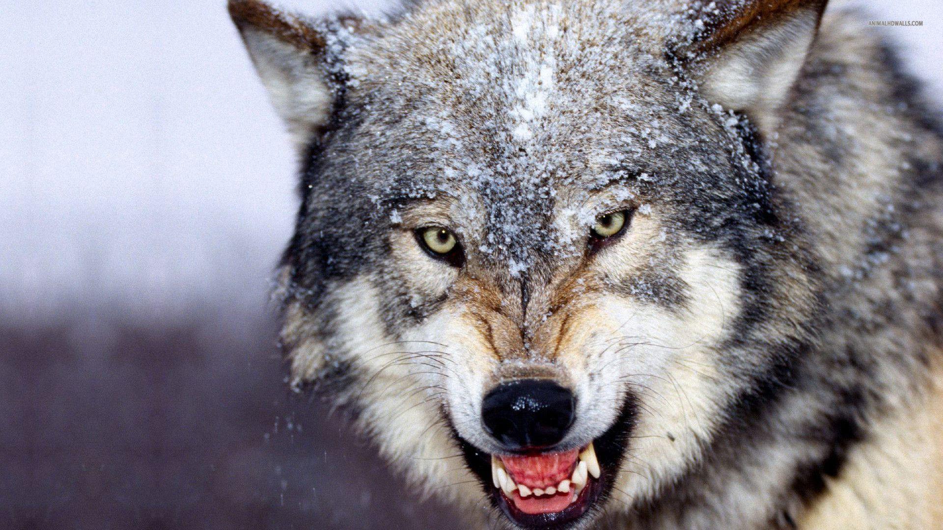 wolf wallpaper 4k for mobile