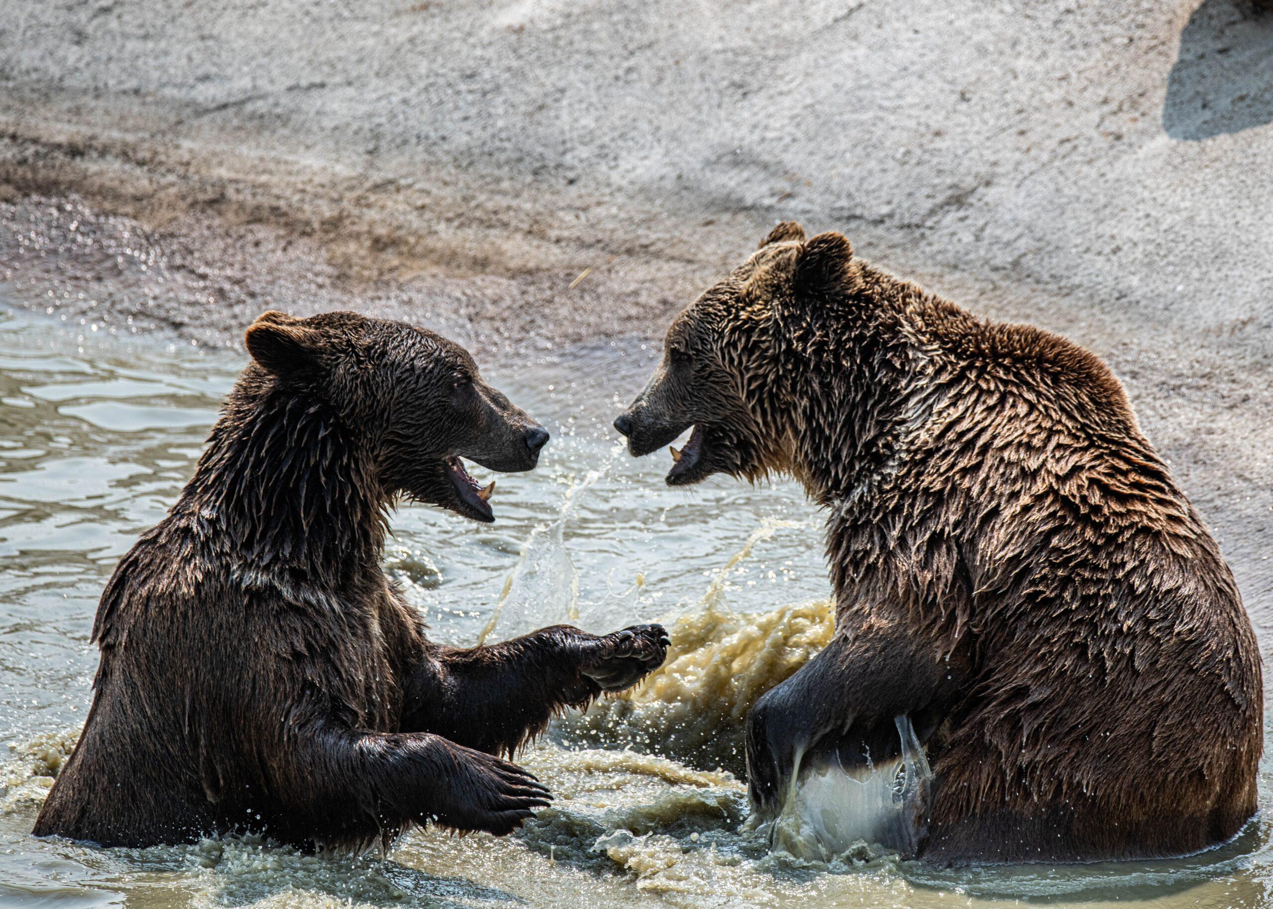 Bears Wallpapers